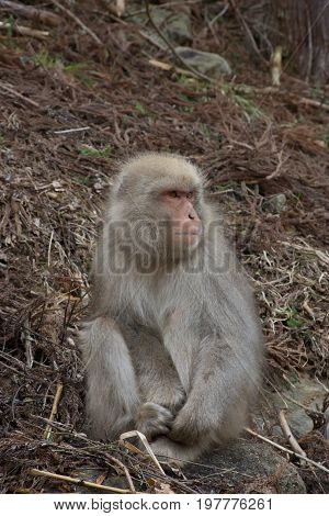 Close up of a young snow monkey sitting among dried branches on a hillside looking up. It is holding onto its toes. Shallow depth of field.