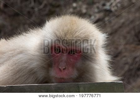 A resting snow monkey or Japanese macaque lying on a wood plank looking toward the left.