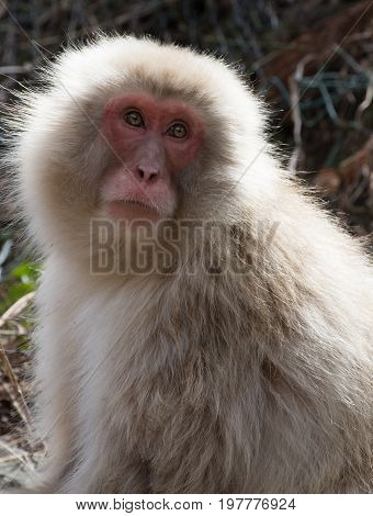 Close up of a snow monkey or Japanese macaque looking up with sun shining on its back. Shallow depth of field.