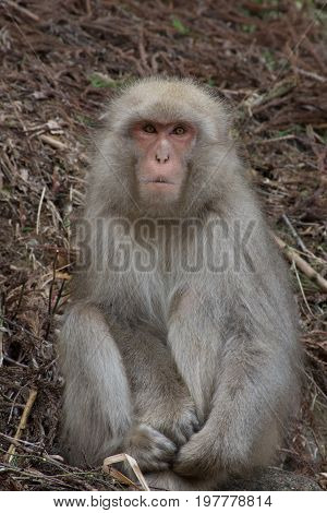 Snow monkey sitting in dried branches on hillside facing camera with intent gaze.