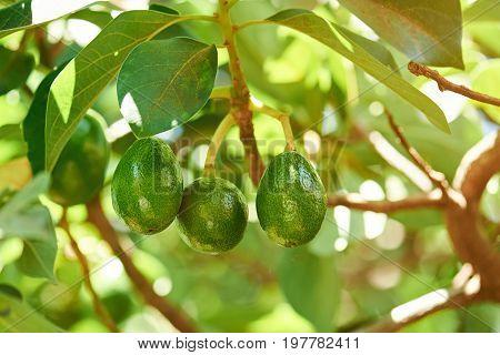 Group of avocado hang on tree close-up. Avocado green plant