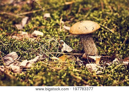Birch Mushroom Grows Into The Forest.