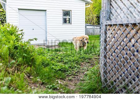 Golden Retriever Dog Walking Outside By House On Leash In Backyard