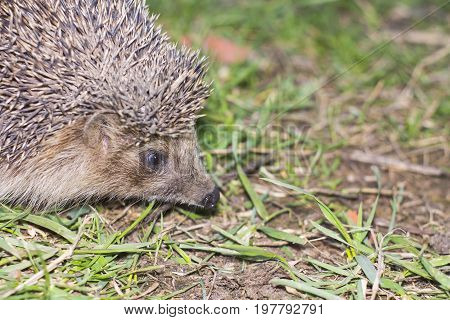 The spiny hedgehog carefully examines the green grass