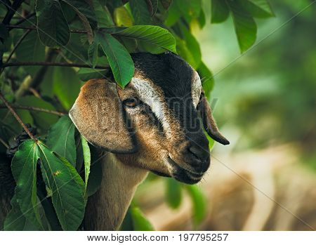 Portrait of a cute goat near a tree.