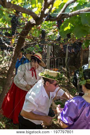 ESTREITO DE CAMARA DE LOBOS PORTUGAL - SEPTEMBER 10 2016: People harvesting grapes in the vineyard of the Madeira Wine Company at Madeira Wine Festival in Estreito de Camara de Lobos Madeira Portugal