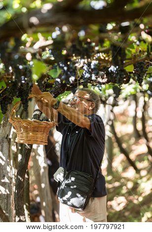 ESTREITO DE CAMARA DE LOBOS PORTUGAL - SEPTEMBER 10 2016: Man harvesting grapes in the vineyard of the Madeira Wine Company at Madeira Wine Festival in Estreito de Camara de Lobos Madeira Portugal. The Madeira Wine Festival honors the grape harvest with a