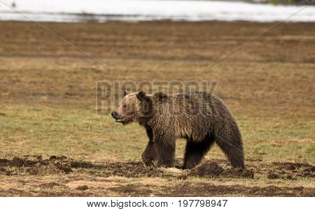 a large grizzly walks in a meadow