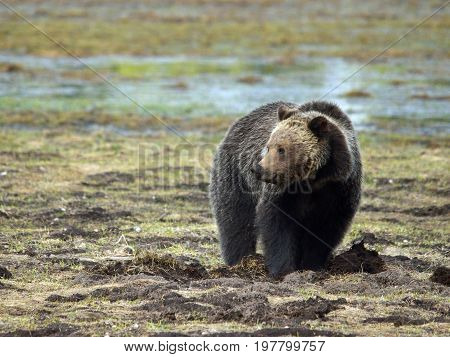 a grizzly bear stands in a marshy field