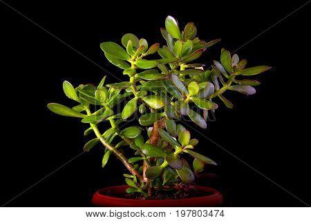 Crassula ovata or money tree succulent plant in flower pot close up on black background