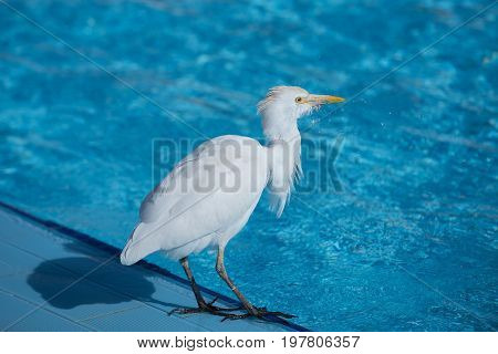 bird with white feather and yellow beak standing near swimming pool with blue transparent water