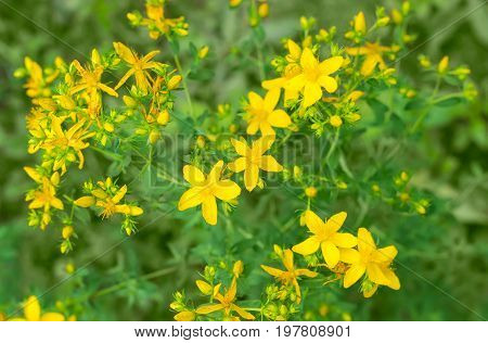 Background of the stem a St John's wort with yellow flowers