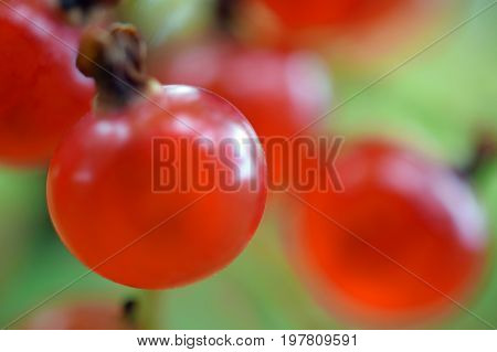 Redcurrant. Macro shot of ripe red currants on a shrub. Focus on foreground.