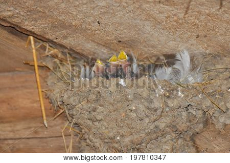 Baby swallows in nest asking for food. Newborn swallows in nest