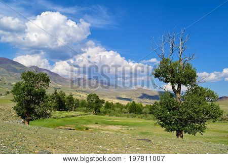 Pasture and half withered poplar in Chuya steppe in Altai mountains. Altay Republic Russia.