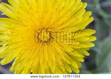 Yellow Dandelion Flower Background