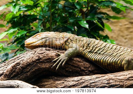Colorful northern caiman lizard, Dracaena Guianensis, lizard sitting on the tree. Natively found in the jungle of South America.