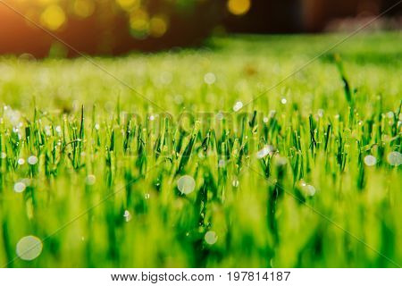 Close up of fresh thick grass in the morning.