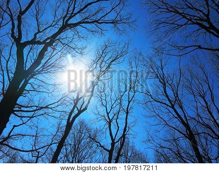 Tree Tops Converging. Upward Perspective View, Lower Angle View Of Tall Trees Winter Clear Blue Sky