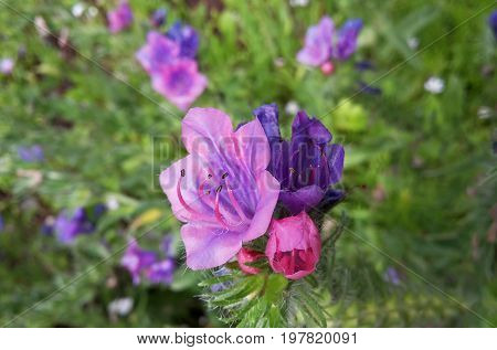pink and purple wildflower, background, viper's bugloss, background