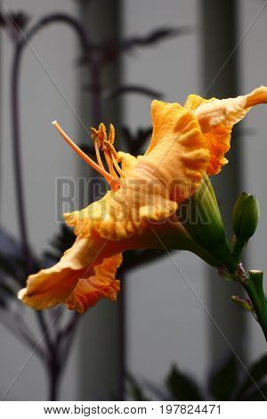 Side view of a bright orange flower of a day lily. It is contrastly allocated against in grey tones.