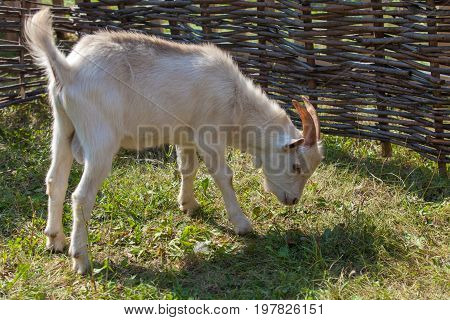 White goat with horns standing on the green grass