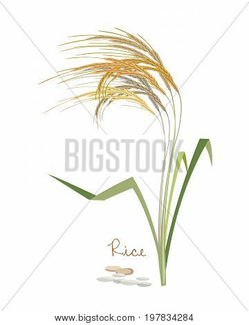 Concept of cereals and legumes and plants. Rice with leaves and grains. Culture for sale, agribusiness, organic products. Vector illustration isolated on white background.