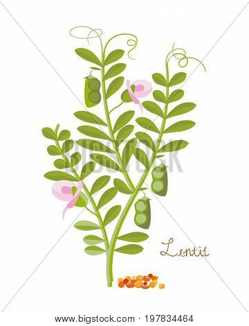 Cereals and legumes and plants. Lentils with leaves and grains. Food and ingredients for cooking. Culture for sale, agribusiness, organic products. Vector illustration isolated on white background.