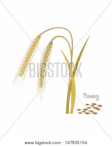 Concept of cereals plants. Barley with leaves, stems and grains. Food and ingredients for cooking. Harvest. Organic food. Farmers product. Agriculture products. Vector illustration isolated.