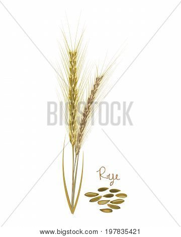 Concept of cereals plants. Rye with leaves, stems and grains. Food and ingredients for cooking. Harvest. Organic food. Farmers product. Agriculture products. Vector illustration isolated.