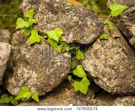 Ivy ranking on a stone wall in Cres