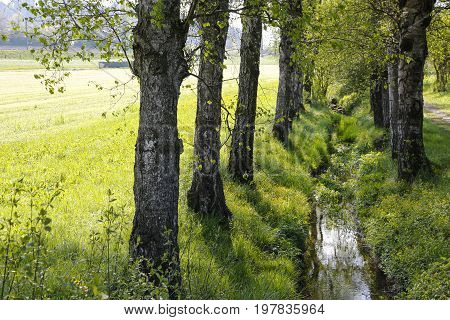 Birches grow along a narrow stream flowing among the grass and it this is somewhere in Switzerland