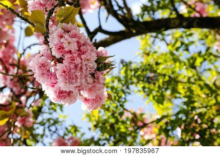 Bunch of pink flowers on a tree branch is shown against a blue sky