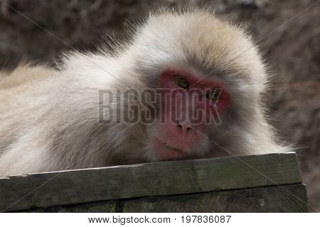 Close up of a snow monkey or Japanese macaque resting on a wood plank. Only head and shoulders are seen.
