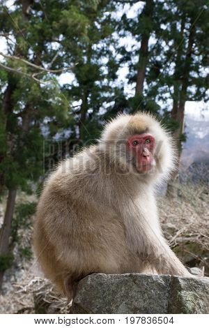 Snow monkey or Japanese macaque perched on boulder with forest in the background. Shallow depth of field.