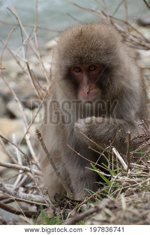 Close up of a snow monkey or Japanese macaque sitting among dried branches with paw raised.