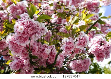 Pink flowers densely covers the branches of the tree