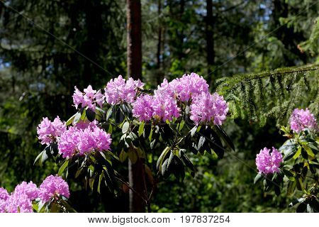 Rhododendron flowers in the a dark forest environment