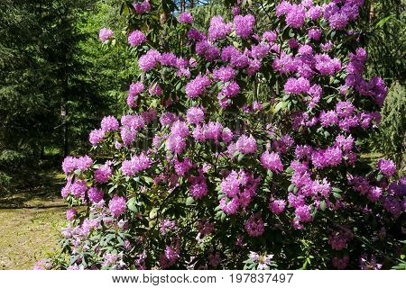 Blooming rhododendron bush in the forest environment