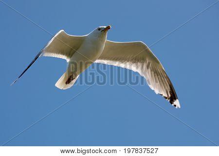 Seagull in flight on a blue sky over waters of Baltic sea in Kolobrzeg in Poland