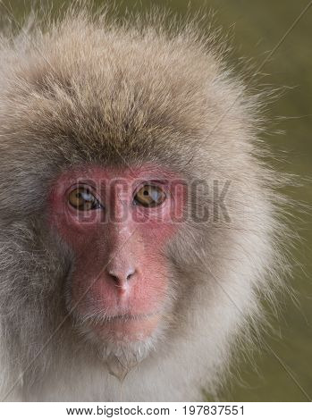 Close up of a snow monkey or Japanese macaque with water dripping from its chin. Shallow depth of field.