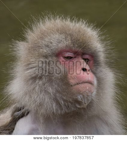 Close up of a snow monkey with water on its chin. Photographed with shallow depth of field.