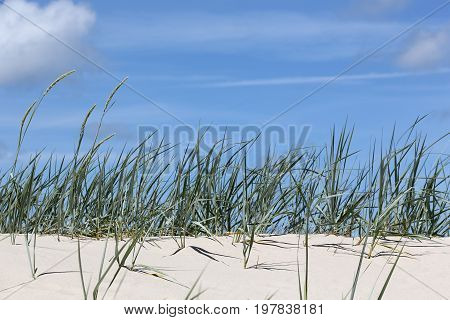 The beach grass grows on a sandy dune by the sea in Kolobrzeg in Poland
