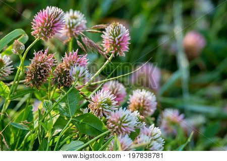 Pink clover or Trifolium flowers in spring meadow, shallow depth of field
