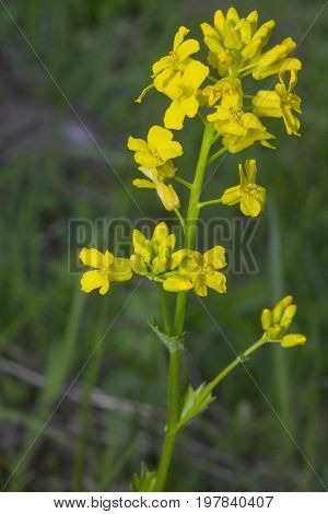 Yellow Barbarea On A Green Bokeh Background