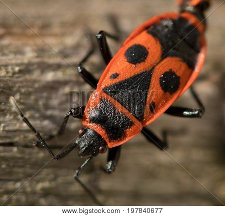 Close-up of a fire bug sitting on wood