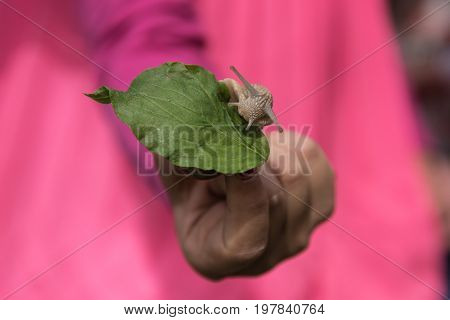 Hand holding vine snail on green leaf against strong contrast