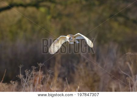Barn Owl (tyto Alba) Flying, In Flight,  Hunting Or Quartering Low Over A Meadow