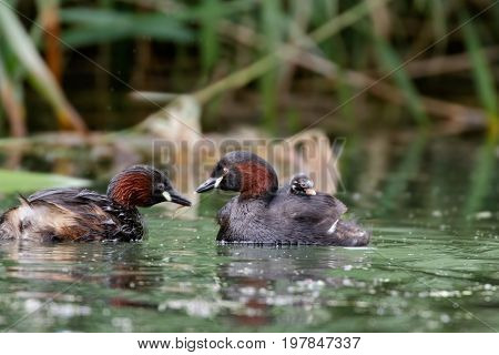 Little Grebe Dabchick (tachybuptus Ruficollis) Family Feeding Young Baby On Board Parent