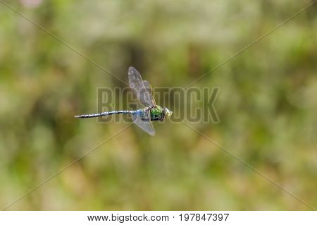 Male Emperor Dragonfly (anax Imperator) Flying, In Flight, Hawking And Patrolling Its Territory.